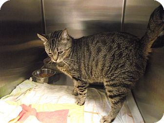 Domestic Shorthair Cat for adoption in Chambersburg, Pennsylvania - Turtle