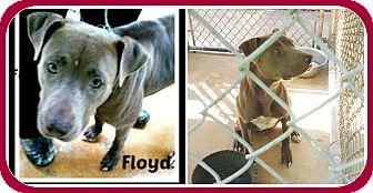 Pit Bull Terrier Dog for adoption in Malvern, Arkansas - FLOYD