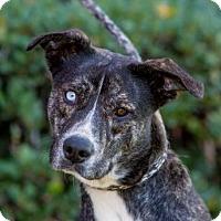 Boxer/Siberian Husky Mix Puppy for adoption in San Diego, California - Romina