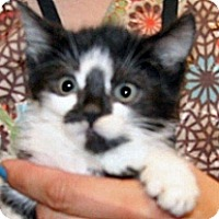 Domestic Shorthair Kitten for adoption in Wildomar, California - 319728