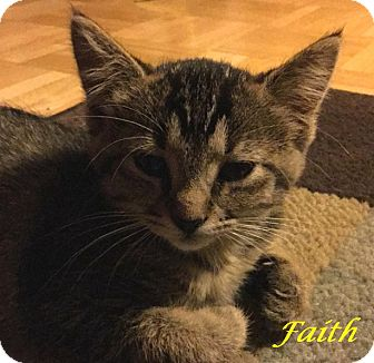 Domestic Shorthair Kitten for adoption in Chisholm, Minnesota - Faith