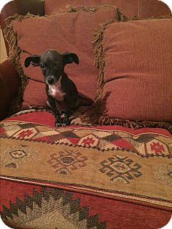 Italian Greyhound/Chihuahua Mix Puppy for adoption in Seattle, Washington - Chloe