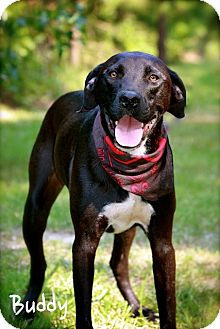 Great Dane/Labrador Retriever Mix Dog for adoption in Wilmington, Delaware - Buddy
