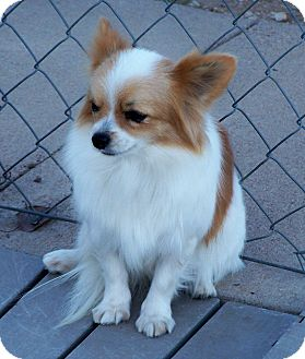 Pomeranian/Papillon Mix Dog for adoption in San Angelo, Texas - Prissy