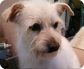 Westie, West Highland White Terrier/Yorkie, Yorkshire Terrier Mix Dog for adoption in Seattle, Washington - Bandit