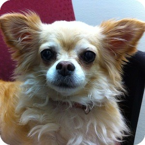 Pomeranian/Chihuahua Mix Dog for adoption in Gilbert, Arizona - Cali