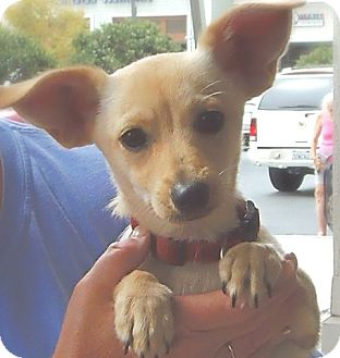 Chihuahua/Dachshund Mix Puppy for adption in Long Beach, California - Cagney