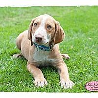 Adopt A Pet :: Tate - Haverhill, MA