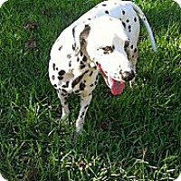 Adopt A Pet :: Dotty - League City, TX