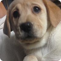 Adopt A Pet :: Cici girl pup - Pompton lakes, NJ