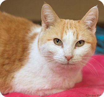 Domestic Shorthair Cat for adoption in St Louis, Missouri - Louisiana