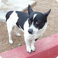 Adopt A Pet :: Lil Brother - Las Vegas, NV