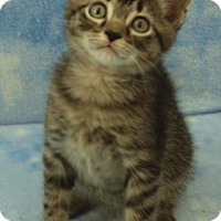 Domestic Shorthair Kitten for adoption in Elkhorn, Wisconsin - Christian