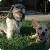 Adopt A Pet :: Tutau - Gilbert, AZ