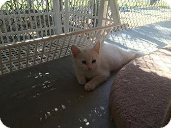 Domestic Mediumhair Kitten for adoption in Yucaipa, California - Aspen