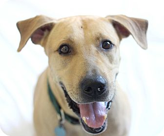 Rhodesian Ridgeback/Labrador Retriever Mix Dog for adoption in Bradenton, Florida - Farley
