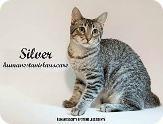 Domestic Shorthair Kitten for adoption in Modesto, California - Silver