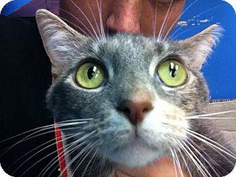 Calico Cat for adoption in Homestead, Florida - Ollie Cat