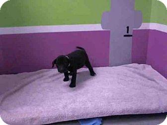 Labrador Retriever Mix Puppy for adoption in Houston, Texas - JAZLYN