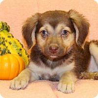 Adopt A Pet :: Cinamon - Modesto, CA