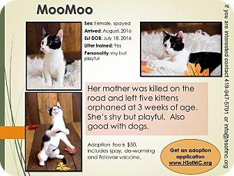 Domestic Shorthair Kitten for adoption in Mount Gilead, Ohio - Moo Moo