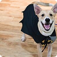 Adopt A Pet :: Trevor Noah - Jersey City, NJ