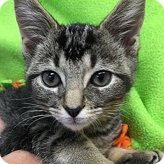 Domestic Shorthair Kitten for adoption in Columbia, Illinois - Bill