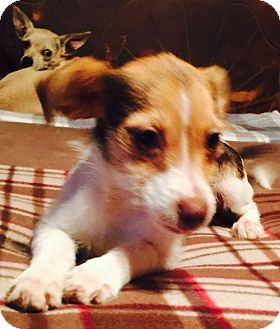 Chihuahua Mix Dog for adoption in Waldron, Arkansas - BITSY BARKLEY
