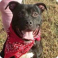 American Staffordshire Terrier/Labrador Retriever Mix Dog for adoption in Glastonbury, Connecticut - Sox