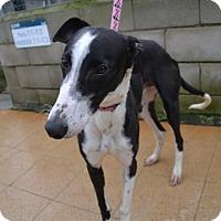 Adopt A Pet :: Saro - Indianapolis, IN