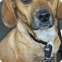 Adopt A Pet :: Little Ben - Arden, NC