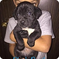 Adopt A Pet :: Black Beetle - Mission, KS