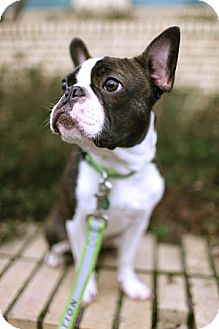 booker adopted dog portland or boston terrier