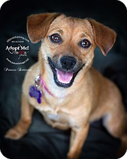 Dachshund/Beagle Mix Dog for adoption in Phoenix, Arizona - PRINCESS BUTTERCUP