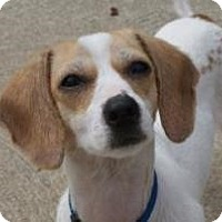 Adopt A Pet :: Abby - Rockaway, NJ