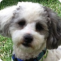 Adopt A Pet :: Bacall - La Costa, CA