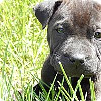 Adopt A Pet :: Pearl - Newport, VT