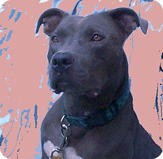 American Staffordshire Terrier Mix Dog for adoption in Morriston, Florida - Blue