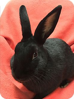 Satin Mix for adoption in Chicago, Illinois - Binky
