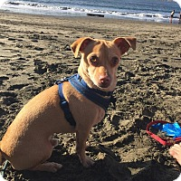 Adopt A Pet :: Rusty - San Francisco, CA