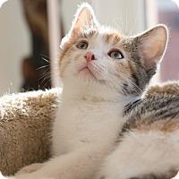 Adopt A Pet :: Essie - Chicago, IL