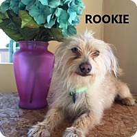 Adopt A Pet :: Rookie - Chandler, AZ