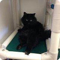 Domestic Longhair Cat for adoption in Grand Junction, Colorado - Coal