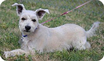 Standard Schnauzer/Terrier (Unknown Type, Medium) Mix Dog for adoption in Spring, Texas - Demayo