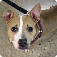 Adopt A Pet :: Sheba - Troy, MI
