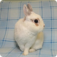 Adopt A Pet :: Dainty - Chesterfield, MO