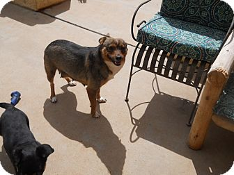 Cattle Dog/Dachshund Mix Dog for adoption in dewey, Arizona - Tessa