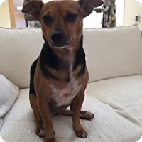Chihuahua/Miniature Pinscher Mix Dog for adoption in Encinitas, California - Holly (Courtesy Listing)