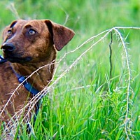 Dachshund Mix Dog for adoption in Gunnison, Colorado - Remi