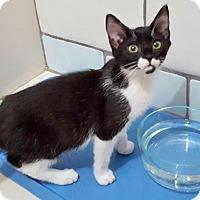 Adopt A Pet :: Ellie the Wonder Kitten - Brooklyn, NY